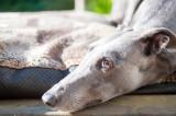 31st May 2018  sleepy hound