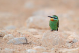 Blue-cheecked Bee-eater (Merops persicus)