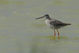 Gallery Spotted Redshank