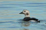 Gallery Long-tailed duck