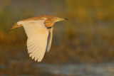 Gallery Squacco Heron (Ardeola ralloides)