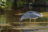 GalleryBlack-crowned Night Heron ( Nycticorax nycticorax)