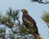 Juvenile Eagle on Hilton Head.