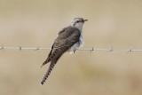 Pallid Cuckoo (Cacomantis pallidus)