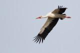 Herons, storks and ibises / Hägrar, storkar och ibisar