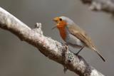 Thrushes  / Trastfåglar