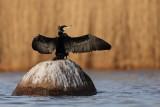 Gannets & Cormorants / Sulor & Skarvar
