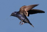 Birds  Purple Martin