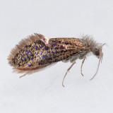 003  Chinquapin Leaf-miner  - Dyseriocrania griseocapitella