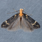 Unidentified Gelechiidae