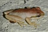 Baja California Tree Frog