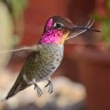 San Diego County Hummingbirds