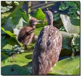 Limpkin feeding her chick