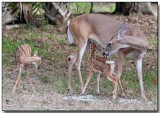 White-tailed Deer - Doe & Fawns, our neighbors