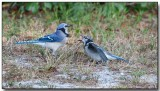 Blue Jay - feeding the juvenille