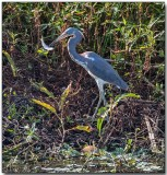 Great Blue Heron - good fishing