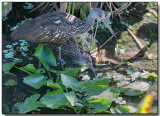 Limpkin and chick - the chick is about 4 weeks old