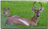 White-tailed Deer - Buck and Doe