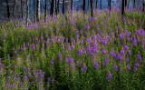 170715-6_fireweed_lake_6785m.jpg