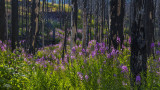 170715-6_fireweed_forest_6825m.jpg