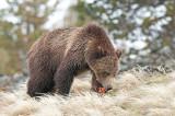 Grizzly - Grizzly - Ursus arctos