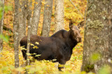Orignal - Moose - Alces alces