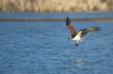 Balbuzard pêcheur - Osprey - Pandion haliaetus