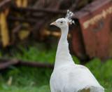 All White Peafowl sm.jpg