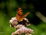 Butterflies - Caterpillars