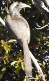 Indian Hornbill