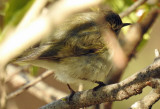 Common chiffchaff (or Hume's leaf warbler?)