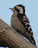 Grey-capped pygmy woodpecker (female)