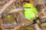 Green bee eater (juvenile)