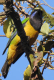 Leafbirds