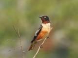 Spot-winged Starling