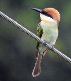 Chestnut-headed bee eater July 2017