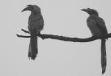 Hornbill juveniles July 2017