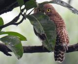 Jungle Owlet July 2017
