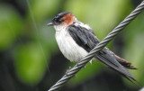 Red-rumped swallow July 2017