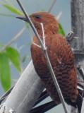 Rufous Woodpecker July 2017