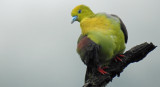 Wedge-tailed Green Pigeon July 2017