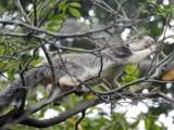 Sri Lankan giant squirrel