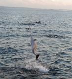 Spinner dolphin, Maldives