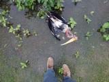 Unfortunate painted stork (2017)