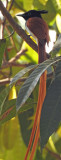 Asian Paradise Flycatcher (Rufous)