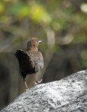 Male brown dipper