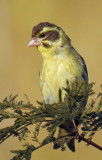 Yellow-breasted greenfinch (male)