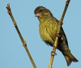 Yellow-breasted greenfinch (female)