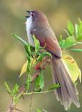 Yellow-eyed Babbler