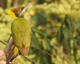 Lesser Yellow-Naped